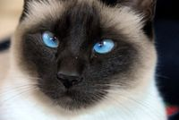 Nice-siamese-cat-face