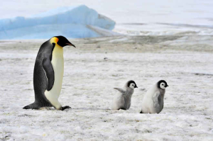 Emperor-penguin-and-chicks